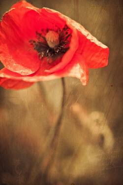 Ildiko Neer CLOSE-UP OF POPPY IN FIELD Flowers/Plants