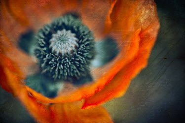 Ildiko Neer CLOSE-UP OF POPPY PETALS AND SEEDS Flowers/Plants