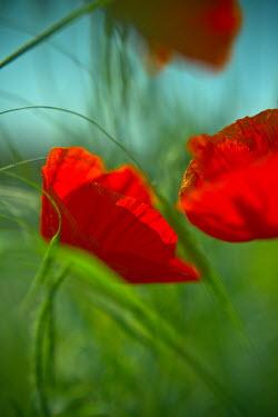 Ildiko Neer CLOSE-UP OF POPPIES IN FIELD Flowers/Plants