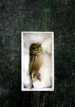 Jill Ferry STILL LIFE OF DEAD BIRD IN BOX Birds