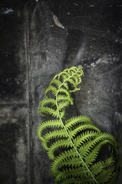 Jude McConkey FERN LEAF AGAINST SHABBY WALL Flowers/Plants