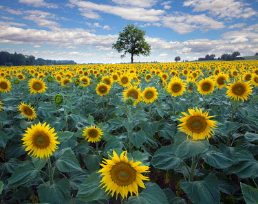 Tony Worobiec FIELD OF SUNFLOWERS IN COUNTRYSIDE Flowers/Plants