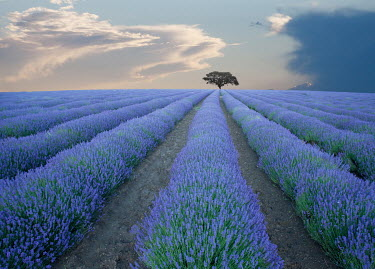 Tony Worobiec FIELD OF LAVENDER WITH DISTANT TREE Fields