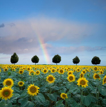 Tony Worobiec RAINBOW OVER SUNFLOWERS AND TREES Flowers/Plants
