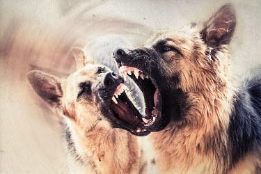Alessandra Favetto TWO BARKING AGGRESSIVE DOGS Animals