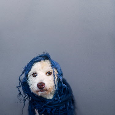 Alessandra Favetto SMALL DOG WRAPPED IN SCARF INDOORS Animals
