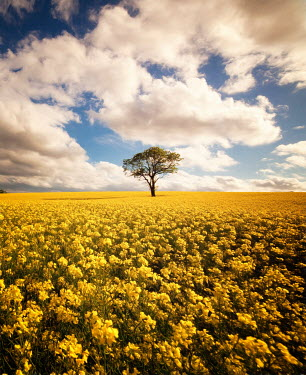Paul Grand DISTANT TREE IN YELLOW FLOWER FIELD Fields