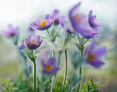 Franci van der Vyver PURPLE FLOWERS GROWING OUTSIDE IN COUNTRY Flowers/Plants