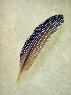 Paul Grand CLOSE UP OF PATTERNED FEATHER INDOORS Miscellaneous Objects