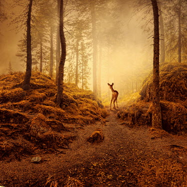 Caras Ionut DEER ON FOREST PATH AT SUNRISE Animals