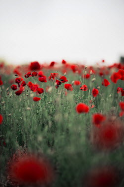 Jovana Rikalo POPPY FIELD Flowers/Plants