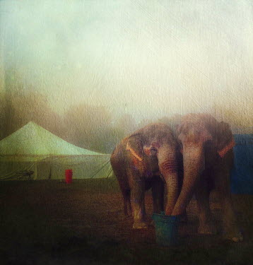 Dawn Hanna TWO ELEPHANTS NEAR CIRCUS TENT Animals