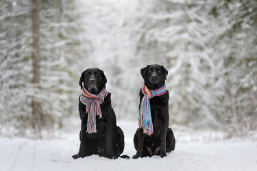 Viktoria Haack TWO DOGS WEARING SCARVES IN SNOW Animals