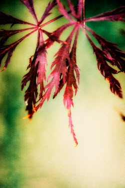 Sally Mundy RED LEAVES OUTDOORS Flowers/Plants