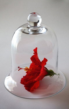 Miguel Sobreira FLOWER UNDER GLASS BELL JAR INDOORS Flowers