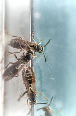 Jill Battaglia WASPS ON WINDOW Insects