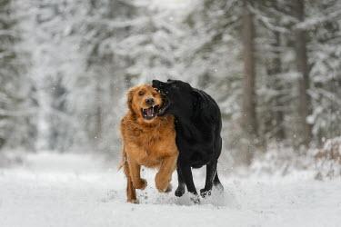 Viktoria Haack TWO DOGS RUNNING IN SNOW Animals