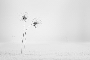 Hardi Saputra TRIDAX FLOWERS IN WHITE FIELD Flowers/Plants
