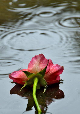 Maggie Brodie PINK ROSE LYING IN RAINY PUDDLE Flowers
