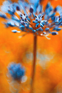 Magdalena Wasiczek BLUE FLOWERS ON ORANGE BACKGROUND Flowers/Plants