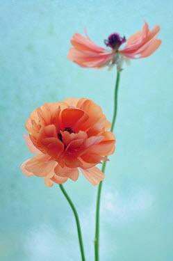 Magdalena Wasiczek CLOSE UP OF POPPY FLOWERS Flowers/Plants