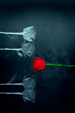 Victor Habbick ROSE FLOWER NEAR FADED FLOWERS Flowers