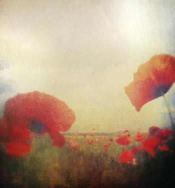Dawn Hanna POPPIES GROWING IN DREAMY FIELD Flowers/Plants
