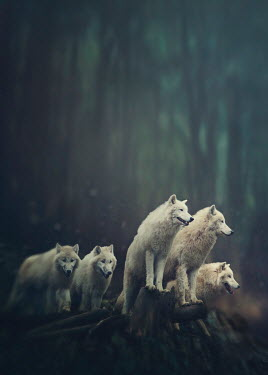 Elena Schweitzer FIVE WHITE WOLVES IN COUNTRYSIDE Animals
