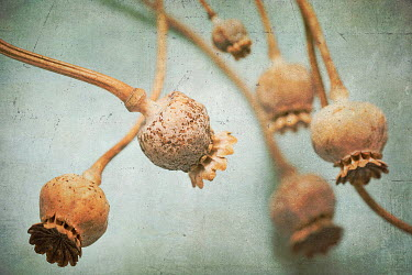 Alison Archinuk CLOSE UP OF DRIED FLOWER PODS Flowers