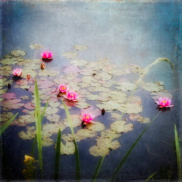Dirk Wustenhagen LILY PADS AND FLOWERS FLOATING IN POND Flowers/Plants