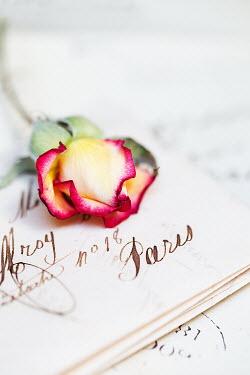 Alison Archinuk ROSE FLOWER ON HANDWRITTEN PAPER Flowers