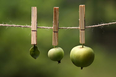 Hanna Seweryn GREEN APPLES AND LEAF HANGING ON PEGS Miscellaneous Objects