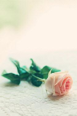 Ildiko Neer PINK ROSE FLOWER IN SUNLIGHT Flowers