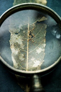 Jill Ferry DRY DEAD LEAF UNDER MAGNIFYING GLASS Miscellaneous Objects