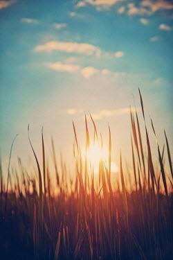 Susan Fox SUNSET THROUGH LONG GRASS IN FIELD Fields