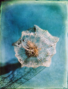 Jill Ferry DRIED VEINY FLOWER Flowers