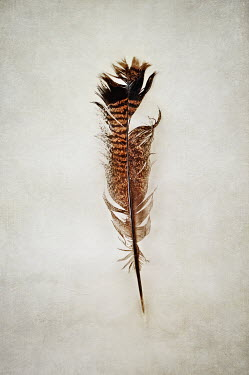 Stephanie Frey Old tattered turkey feather Miscellaneous Objects