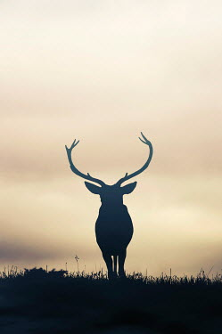 Nicola Smith SILHOUETTE OF DEER WITH ANTLERS IN FIELD Animals