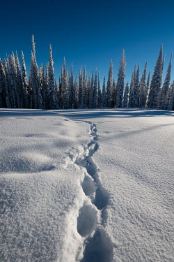 Viktoria Haack FOOTSTEPS IN SNOW Trees/Forest