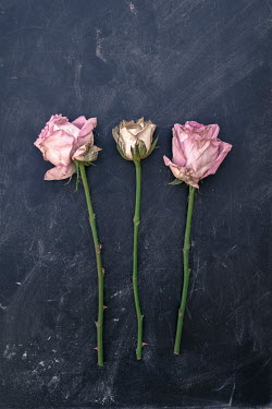 Benjamin Harte THREE WITHERED ROSES Flowers