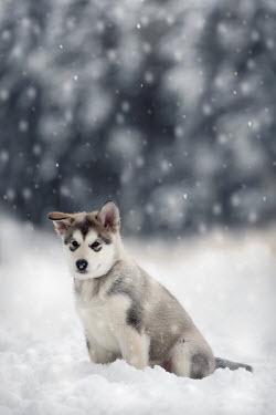 Viktoria Haack GREY WOLF DOG IN SNOW Animals