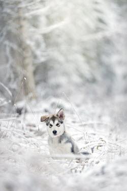 Viktoria Haack GREY WOLF DOG IN SNOWY COUNTRYSIDE Animals