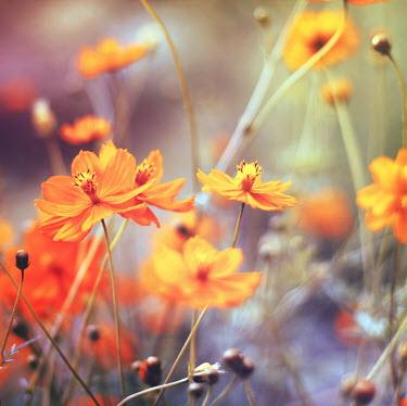 Irene Lamprakou ORANGE FLOWERS Flowers/Plants