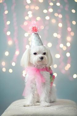 Susan Fox LITTLE WHITE DOG WEARING PARTY HAT Animals