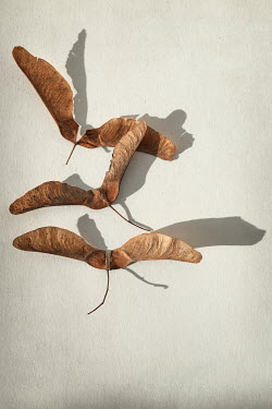 Sally Mundy THREE DRIED SYCAMORE SEED LEAVES Flowers/Plants