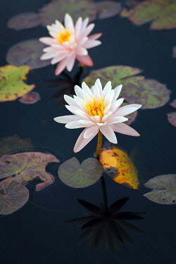 Susan O'Connor WHITE FLOWERS AND LILY PADS IN POND Flowers/Plants