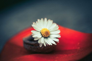 Magdalena Russocka DAISY FLOWER ON RED LEAF Flowers/Plants