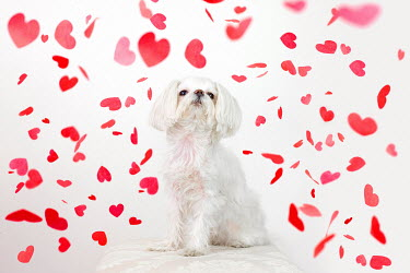Susan Fox WHITE DOG UNDER FALLING HEART CONFETTI Animals