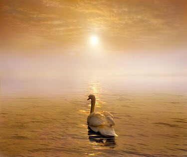 Adrian Leslie Campfield WHITE SWAN ON RIVER AT SUNSET Birds