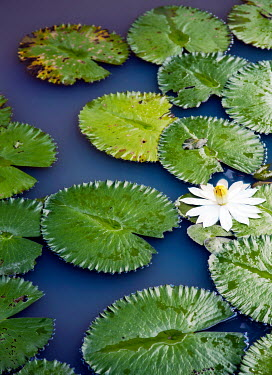 Miguel Sobreira WHITE LILY AND LEAVES ON LAKE Flowers/Plants